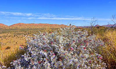 Photograph - Flowers Of The Western Macdonnell Ranges by Paul Svensen