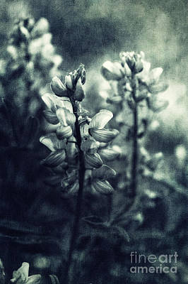 Blue Flowers Photograph - Arctic Lupines by Priska Wettstein