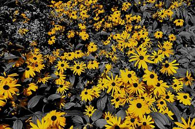 Black And White Photograph - Black Eyed Susan Colors by Dan Sproul