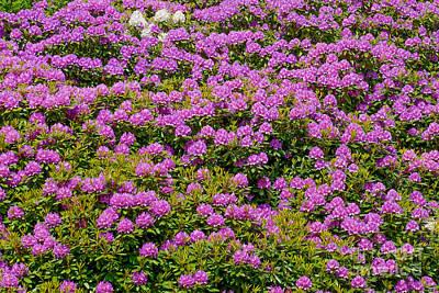 Photograph - Flowerwall Rhododendron by Lutz Baar