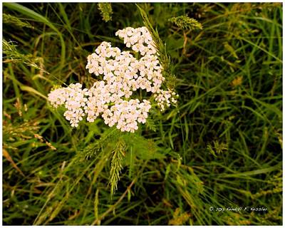 Photograph - Flowing Yarrow by Kendall Kessler