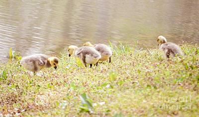 Photograph - Fluffy Baby Goslings  by Peggy Franz