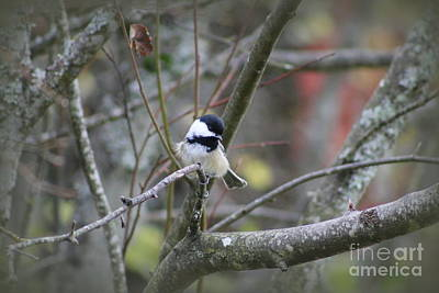 Photograph - Fluffy Chickadee by Leone Lund