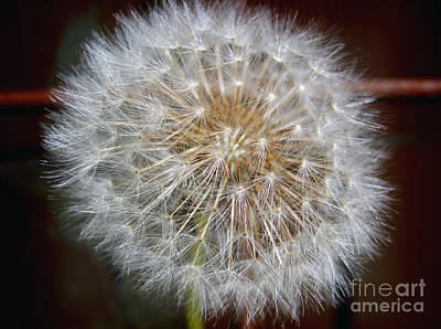 Photograph - Fluffy Dandelion by Nina Ficur Feenan