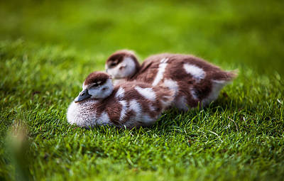 Photograph - Fluffy Duckies  by Jenny Rainbow