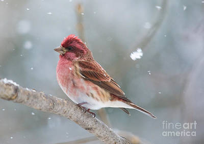 Nature Photograph - Fluffy Flakes And Finch by Cheryl Baxter
