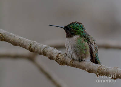 Photograph - Fluffy Humminbird by Cheryl Baxter