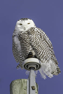Telephone Poles Photograph - Fluffy Snowy Owl by Thomas Young