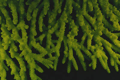 Photograph - Fluorescent Coral by F. Stuart Westmorland