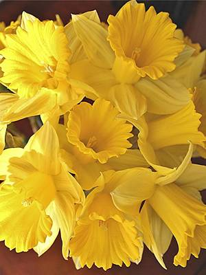 Photograph - Flurry Of Daffodils by Diane Alexander
