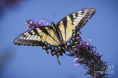 Photograph - Fluted Swallowtail by Ronald Lutz