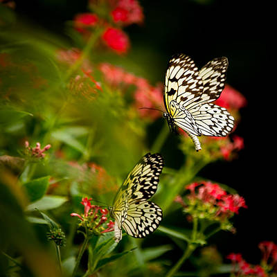 Butterfly In Flight Photograph - Flutter Flutter by Izzy Standbridge