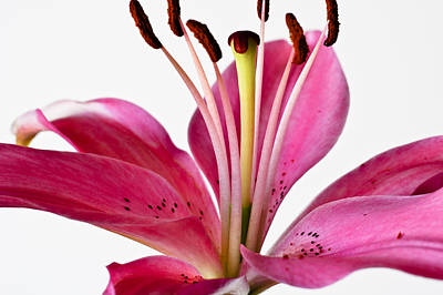 Photograph - Fluttering Lily by Christi Kraft