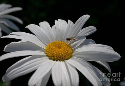 Photograph - Fly And Daisy by Adria Trail