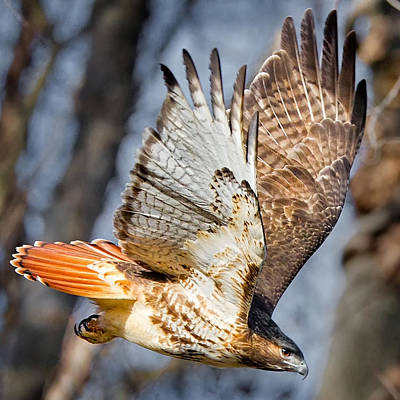 Red Tail Hawk Wall Art - Photograph - Fly Away by Bill Wakeley