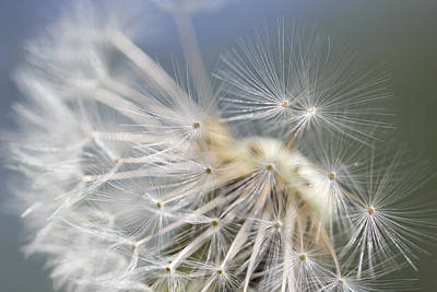 Photograph - Fly Away Dandelion Seeds  by Jennie Marie Schell