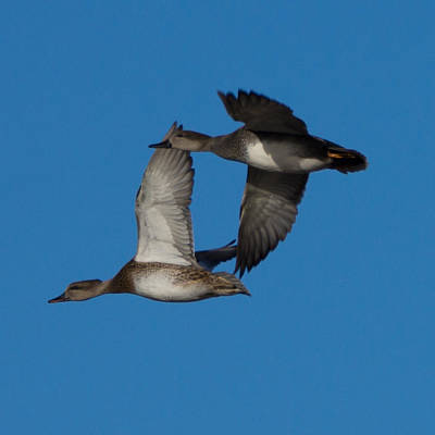 Ducks In Flight Photograph - Fly By 1 by Ernie Echols