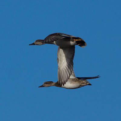 Ducks In Flight Photograph - Fly By 2 by Ernie Echols