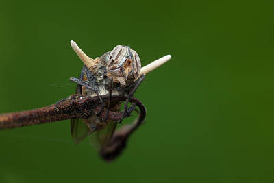 Wildlife Fungus Photograph - Fly Killed By A Parasitic Fungus by Melvyn Yeo