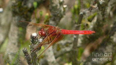 Photograph - Fly Red Dragon by Susan Garren