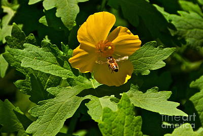 Flying Bee And Wood Poppy Print by Byron Varvarigos