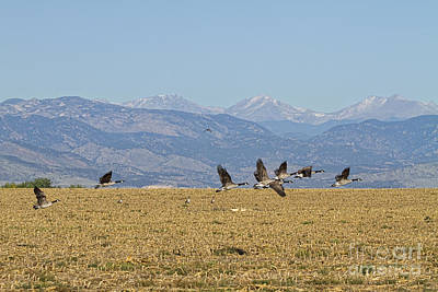 Geese Photograph - Flying Canadian Geese Colorado Rocky Mountains 1 by James BO  Insogna