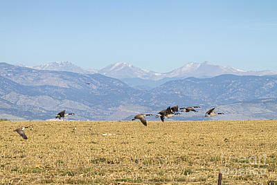 Flying Canadian Geese Rocky Mountains 2 Print by James BO  Insogna