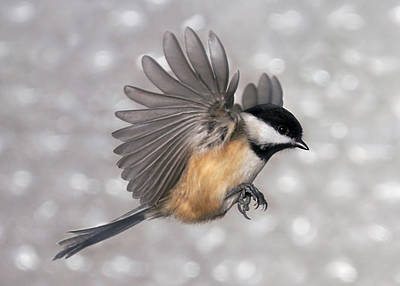 Photograph - Flying Chickadee by Leda Robertson