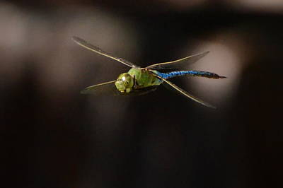 Insects Photograph - Flying Dragon by Charlotte Schafer
