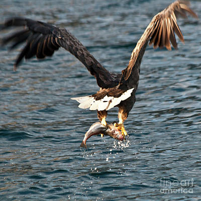 Ailing Photograph - Flying European Sea Eagle 3 by Heiko Koehrer-Wagner