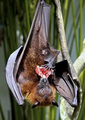 Flying Fox Or Fuit Bat Art Print by Venetia Featherstone-Witty