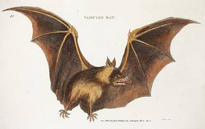 Flying Fox Fruit Bat Art Print