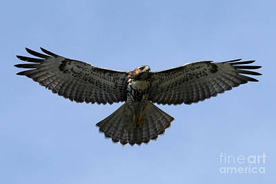Photograph - Flying Free - Red-tailed Hawk by Meg Rousher
