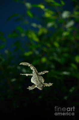 Photograph - Flying Gecko Gliding by Scott Linstead