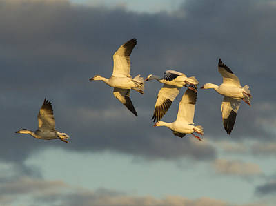 Photograph - Flying Geese by Jean Noren