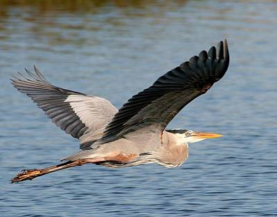 Photograph - Flying Great Blue Heron by Ira Runyan
