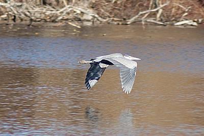 Photograph - Flying Heron by Joe Faherty