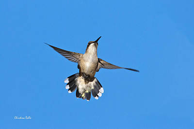 Photograph - Flying Hummingbird Against Blue Sky by Christina Rollo