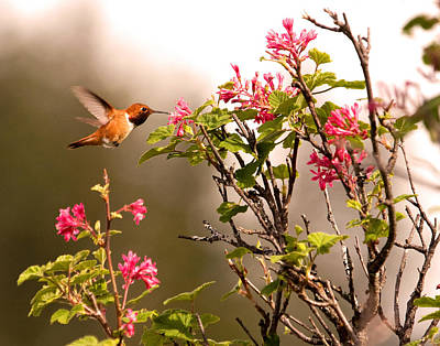 Photograph - Flying Hummingbird Sipping Nectar by Peggy Collins