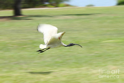 Photograph - Flying Ibis by Jola Martysz