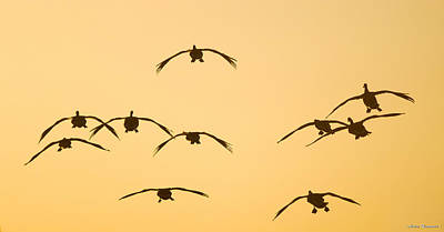 Photograph - Flying Into The Sunset by Avian Resources