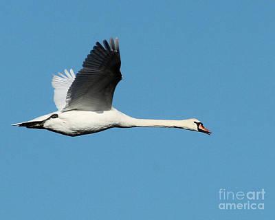 Flying Mute Swan II Art Print