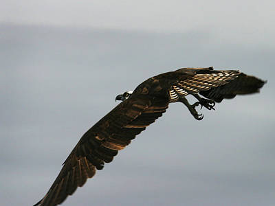 Photograph - Flying Osprey by Anthony Jones
