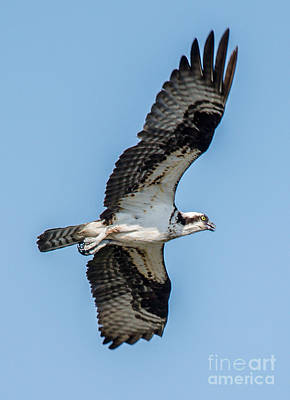 Photograph - Flying Osprey by Cheryl Baxter