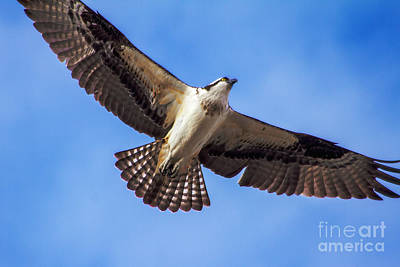 Photograph - Flying Osprey by Robert Bales