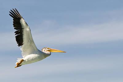 Modern Man Music - Flying Pelican by Brandon Smith