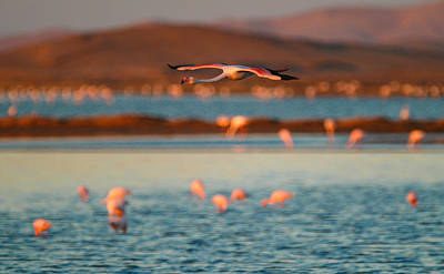 Photograph - Flying Pink by Alistair Lyne