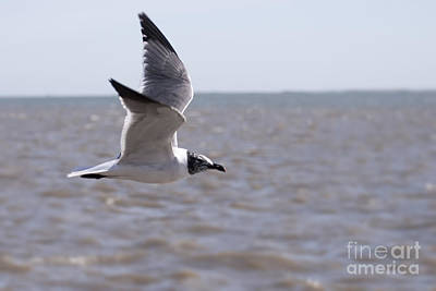 Photograph - Flying Seagull by D Wallace