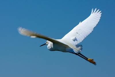 Photograph - Flying Snowy Egret by Stuart Litoff