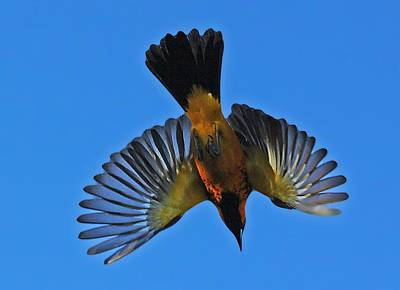Photograph - Flying Spot-breasted Oriole by Dart and Suze Humeston